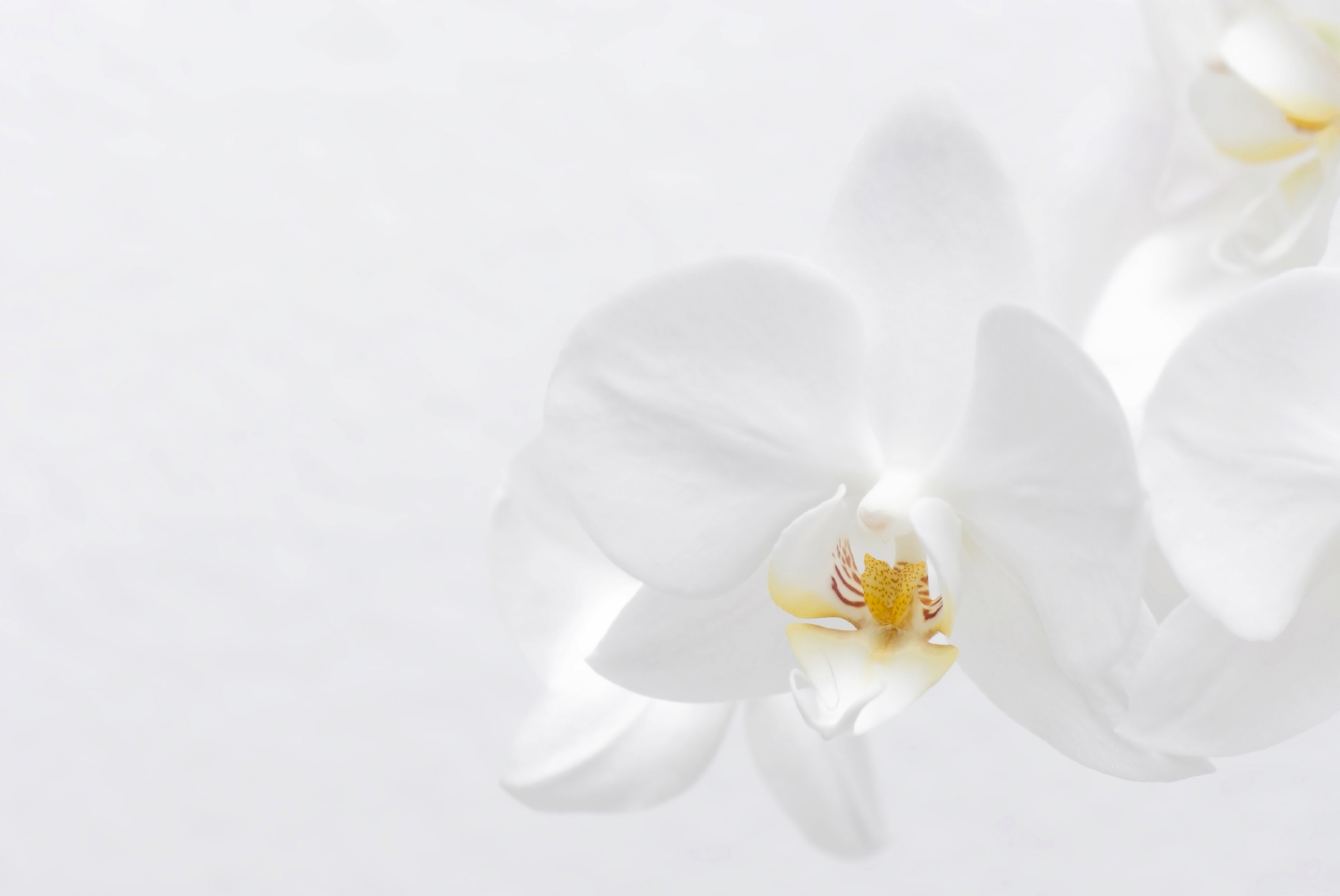 Reiki Charged White Orchid